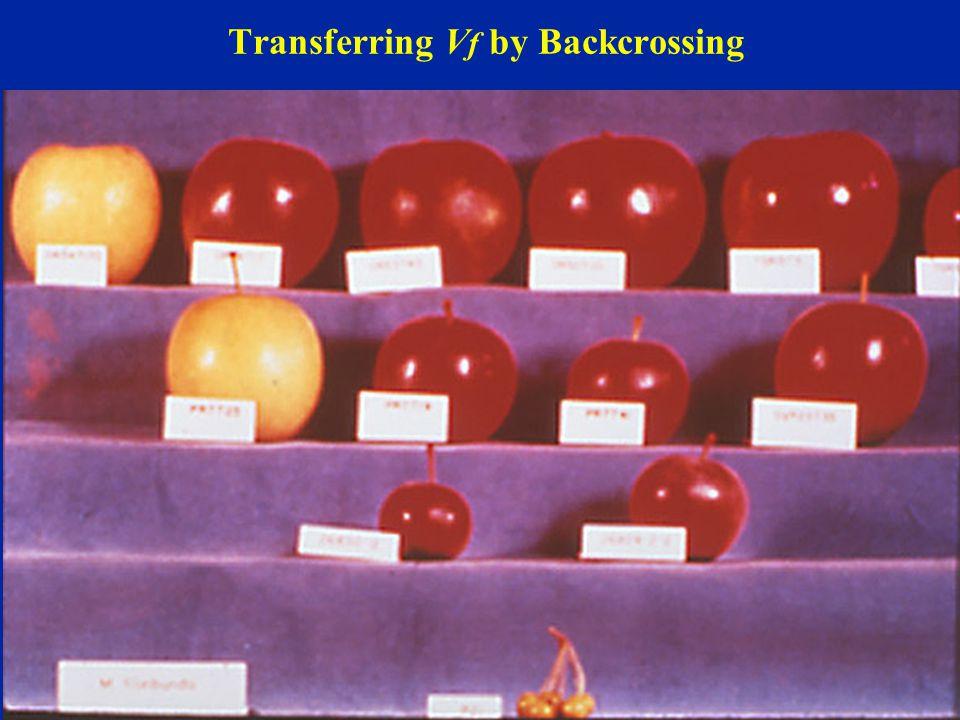 Transferring Vf by Backcrossing