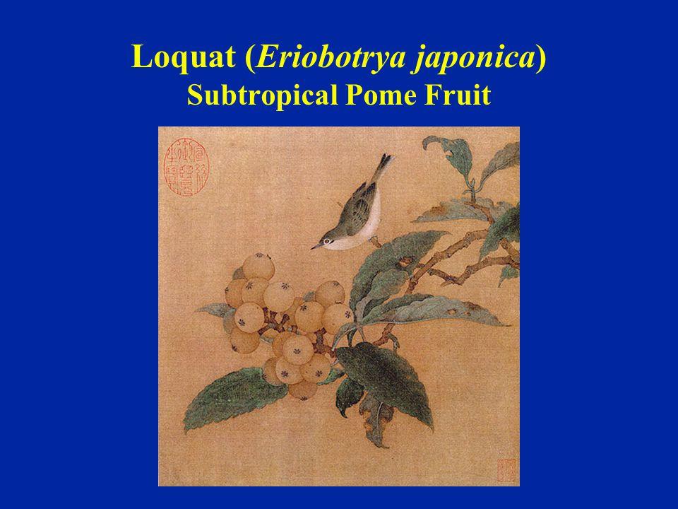 Loquat (Eriobotrya japonica) Subtropical Pome Fruit