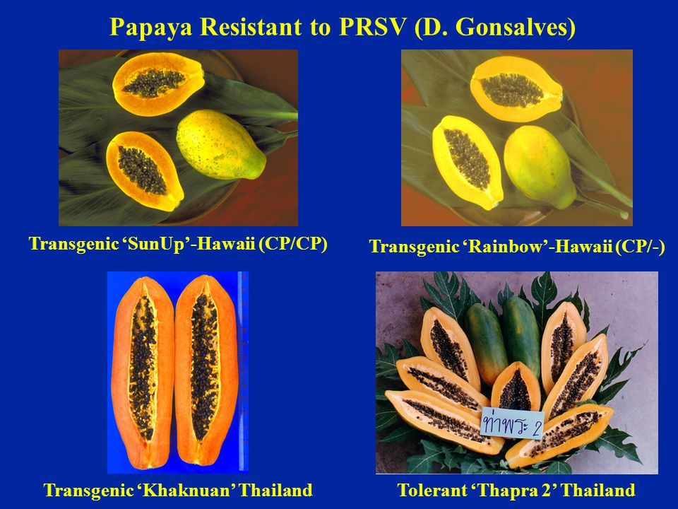 Papaya Resistant to PRSV (D. Gonsalves)