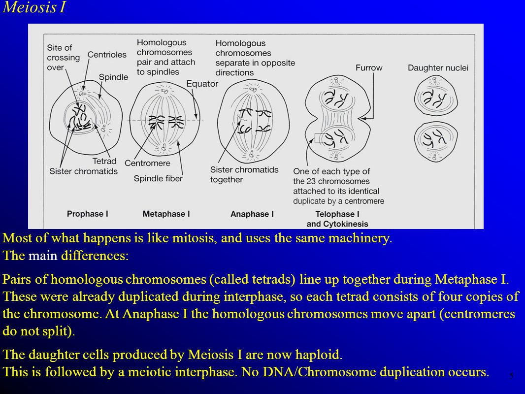 Meiosis I Most of what happens is like mitosis, and uses the same machinery. The main differences: