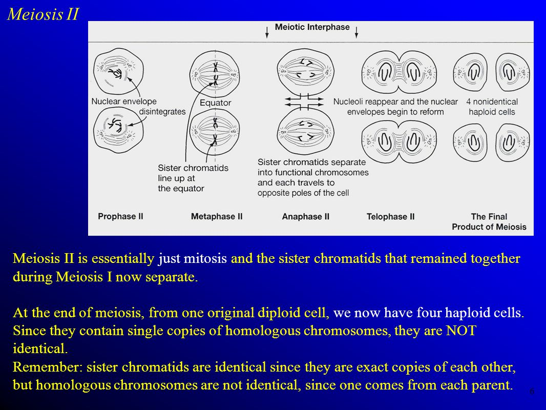 Meiosis II Meiosis II is essentially just mitosis and the sister chromatids that remained together during Meiosis I now separate.