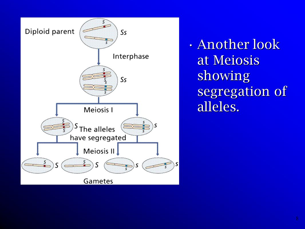 Another look at Meiosis showing segregation of alleles.