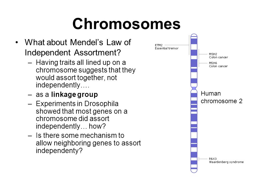 Chromosomes What about Mendel's Law of Independent Assortment