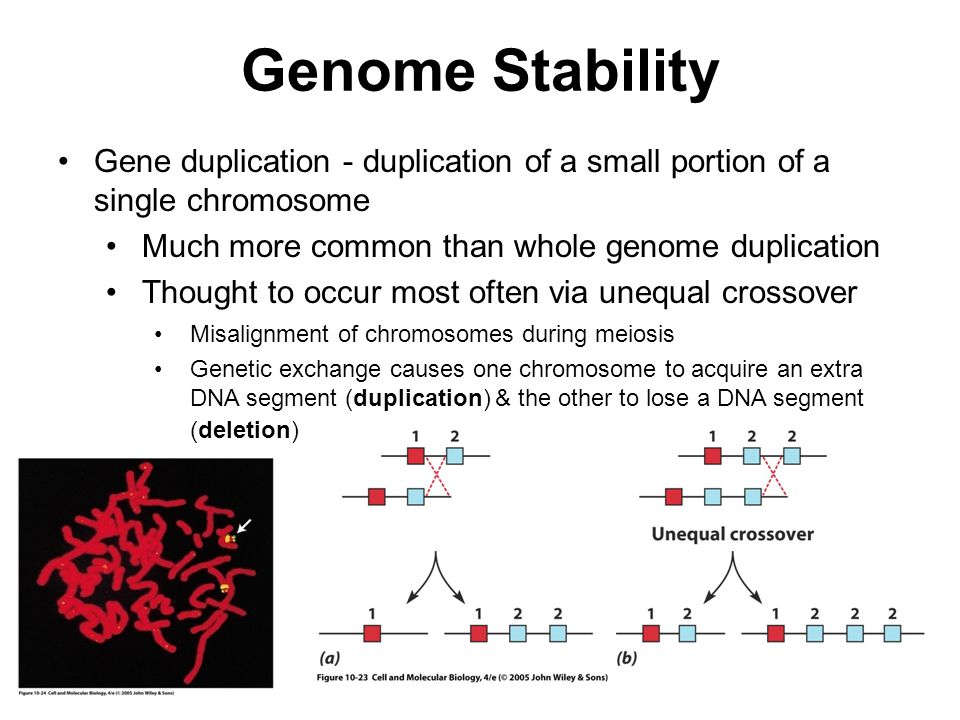 Genome Stability Gene duplication - duplication of a small portion of a single chromosome. Much more common than whole genome duplication.