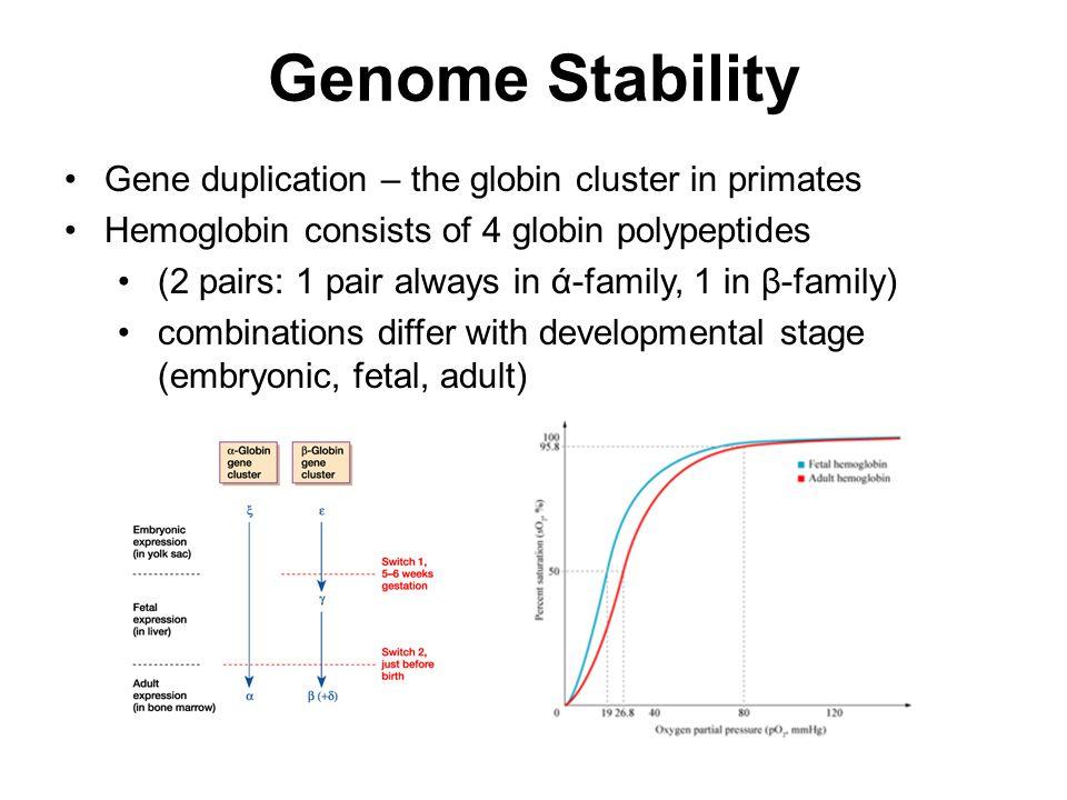 Genome Stability Gene duplication – the globin cluster in primates