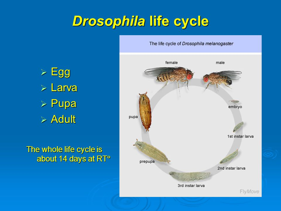 Drosophila life cycle Egg Larva Pupa Adult