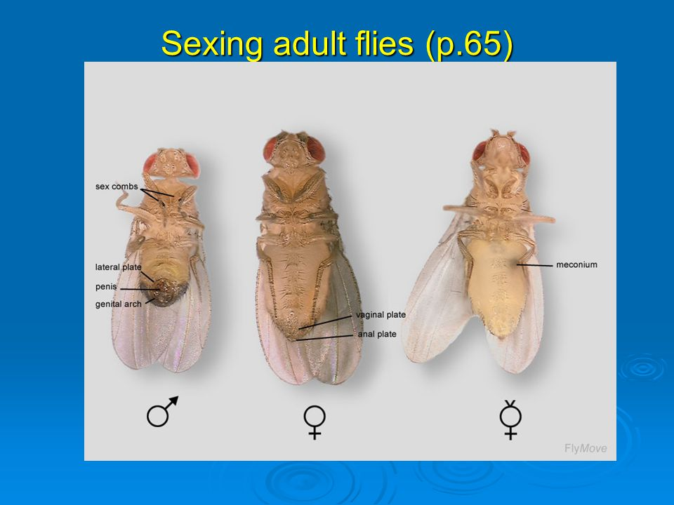 Sexing adult flies (p.65)