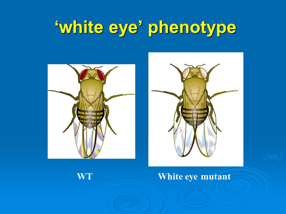 'white eye' phenotype WT White eye mutant