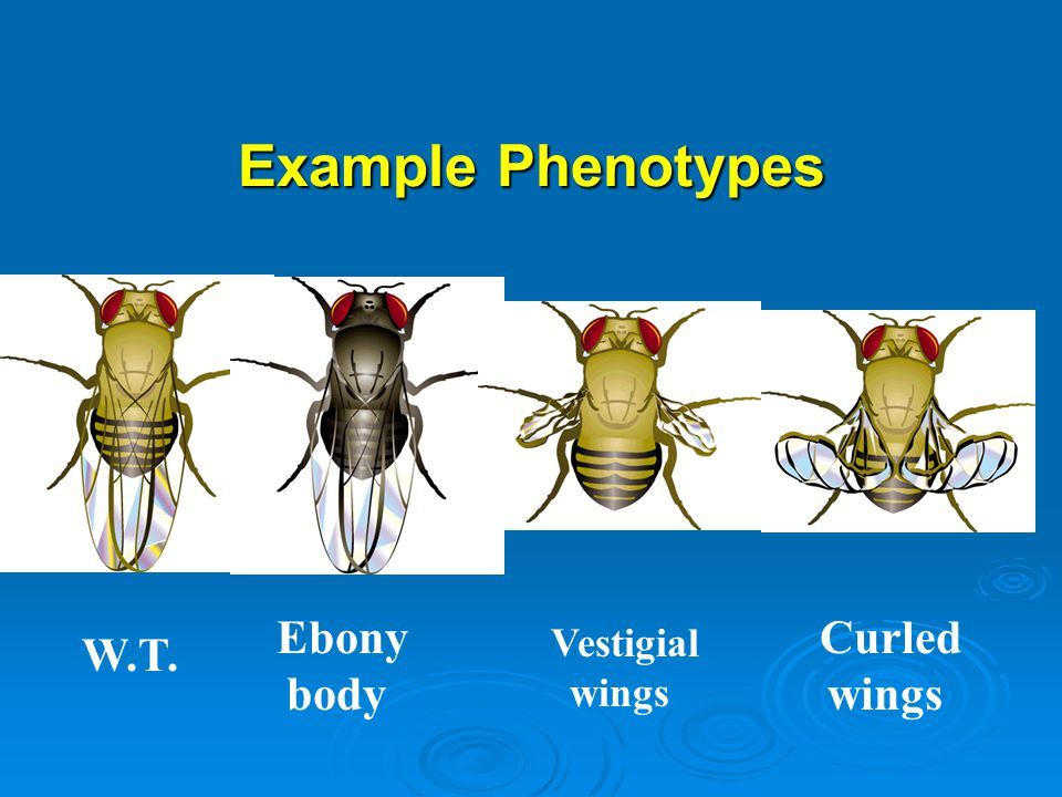 Example Phenotypes Ebony body Curled wings Vestigial wings W.T.