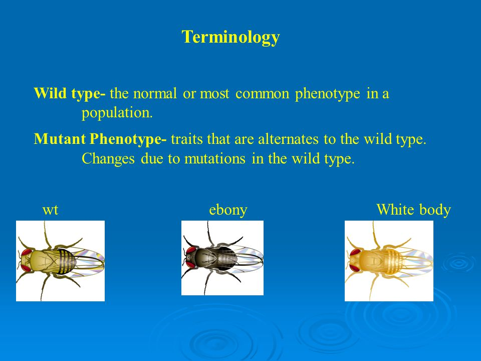 Terminology Wild type- the normal or most common phenotype in a population.