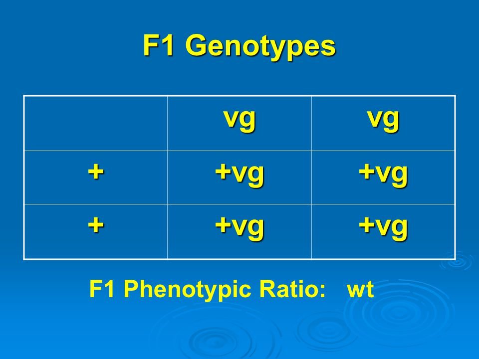 F1 Genotypes vg + +vg F1 Phenotypic Ratio: wt