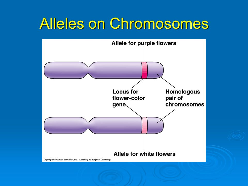 Alleles on Chromosomes