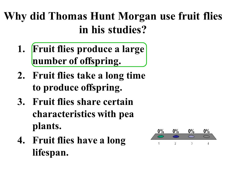 Why did Thomas Hunt Morgan use fruit flies in his studies
