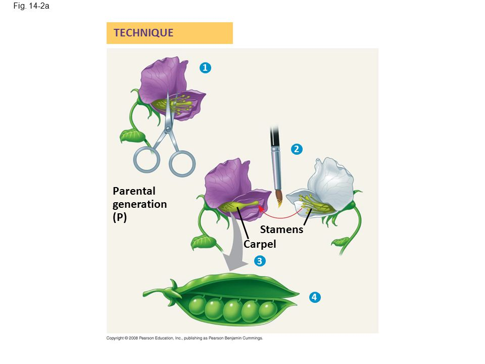 Fig. 14-2a TECHNIQUE 1 2 Parental generation (P) Stamens Carpel 3 4