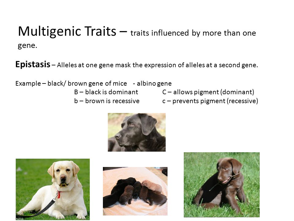 Multigenic Traits – traits influenced by more than one gene.