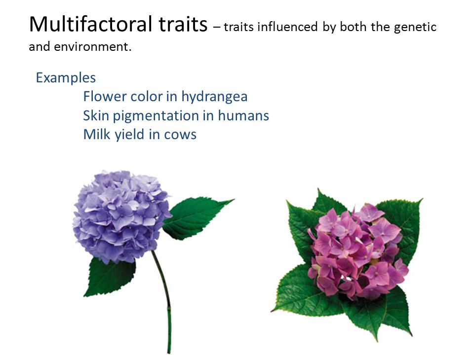 Multifactoral traits – traits influenced by both the genetic and environment.