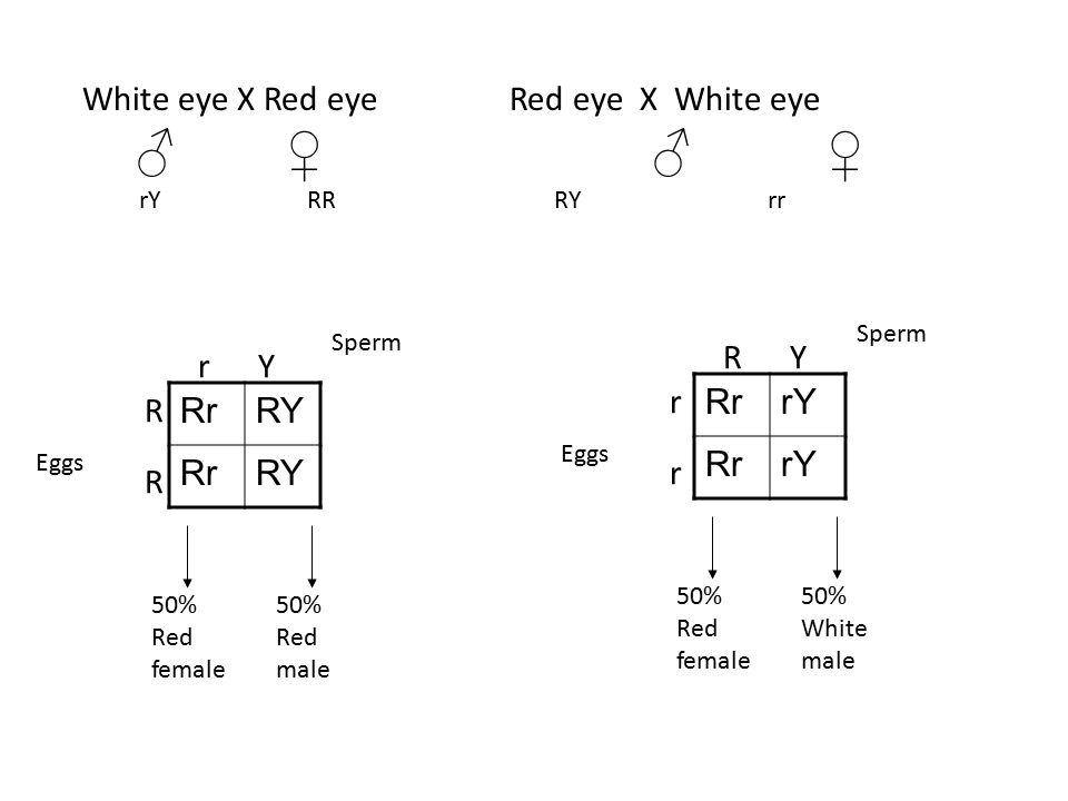 ♂ ♀ ♂ ♀ White eye X Red eye Red eye X White eye R Y r Y r Rr rY R Rr
