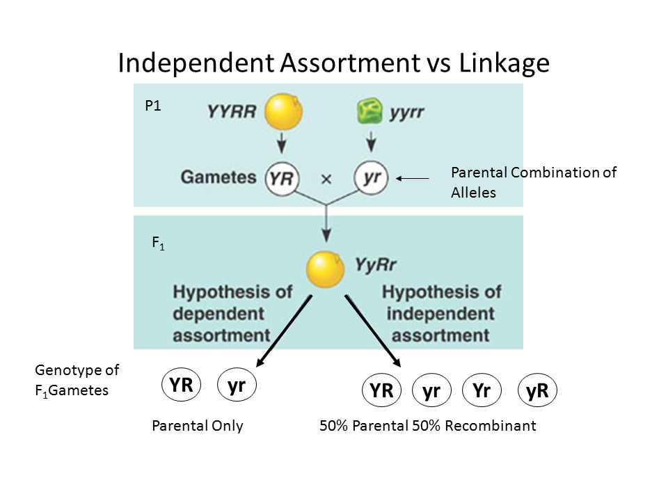 Independent Assortment vs Linkage