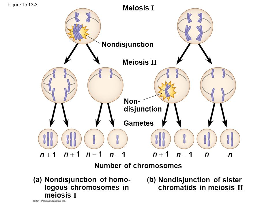Nondisjunction of homo- logous chromosomes in meiosis I (a)