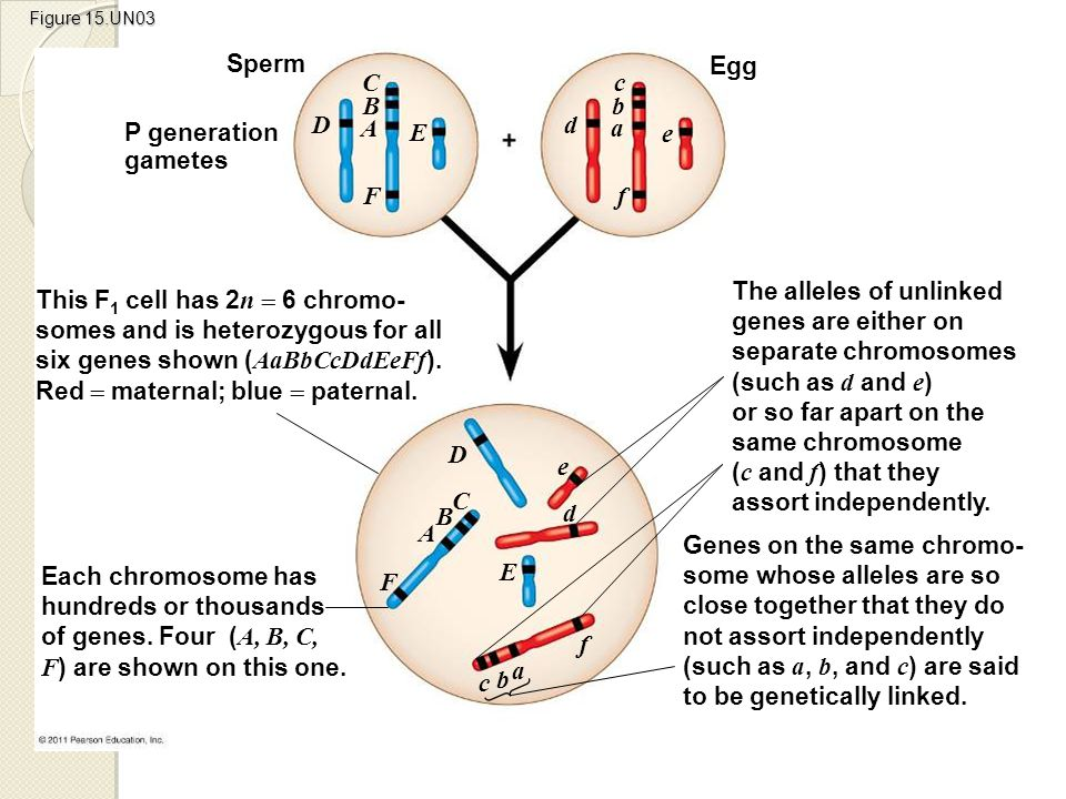 Sperm Egg C c B b D A d E a P generation gametes e F f
