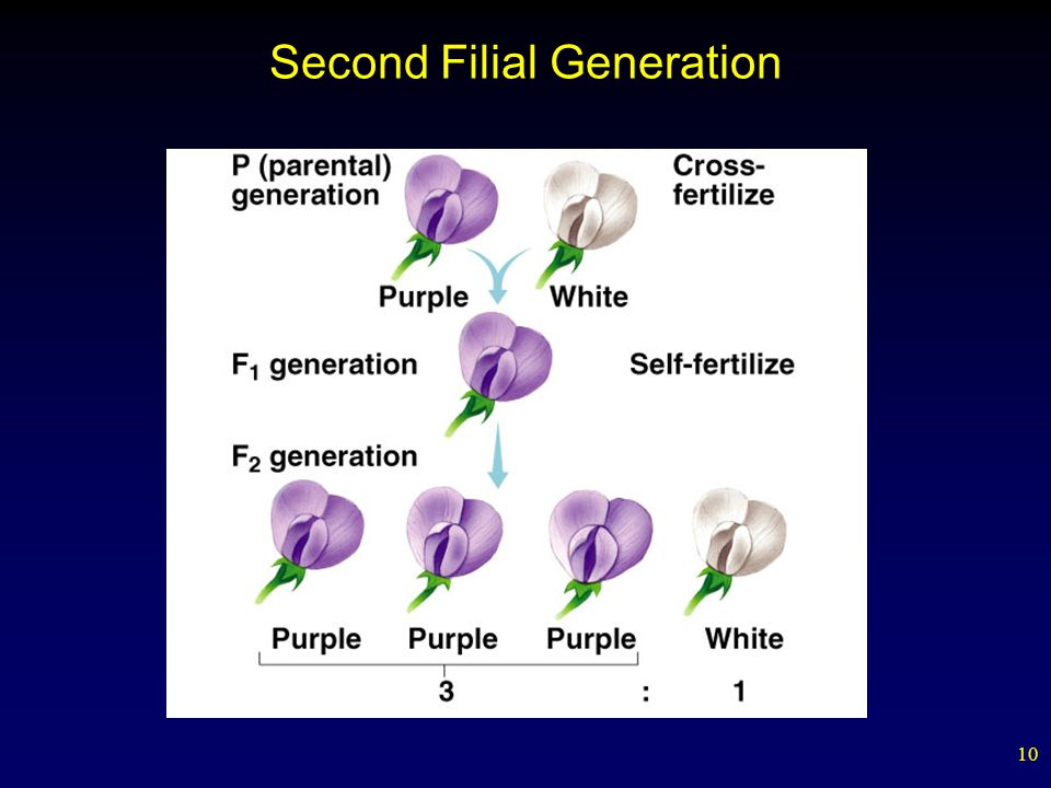 Second Filial Generation
