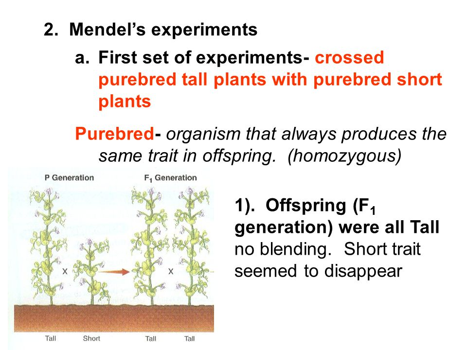 2. Mendel's experiments First set of experiments- crossed purebred tall plants with purebred short plants.