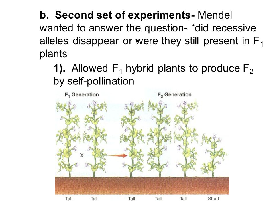 b. Second set of experiments- Mendel wanted to answer the question- did recessive alleles disappear or were they still present in F1 plants