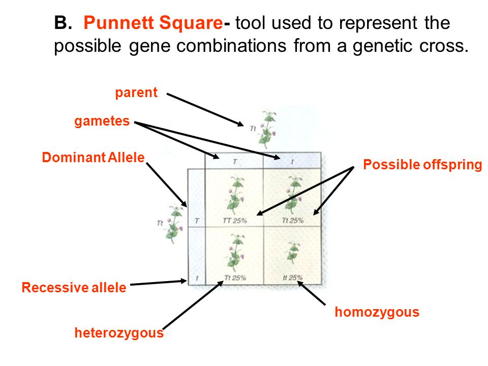 B. Punnett Square- tool used to represent the possible gene combinations from a genetic cross.