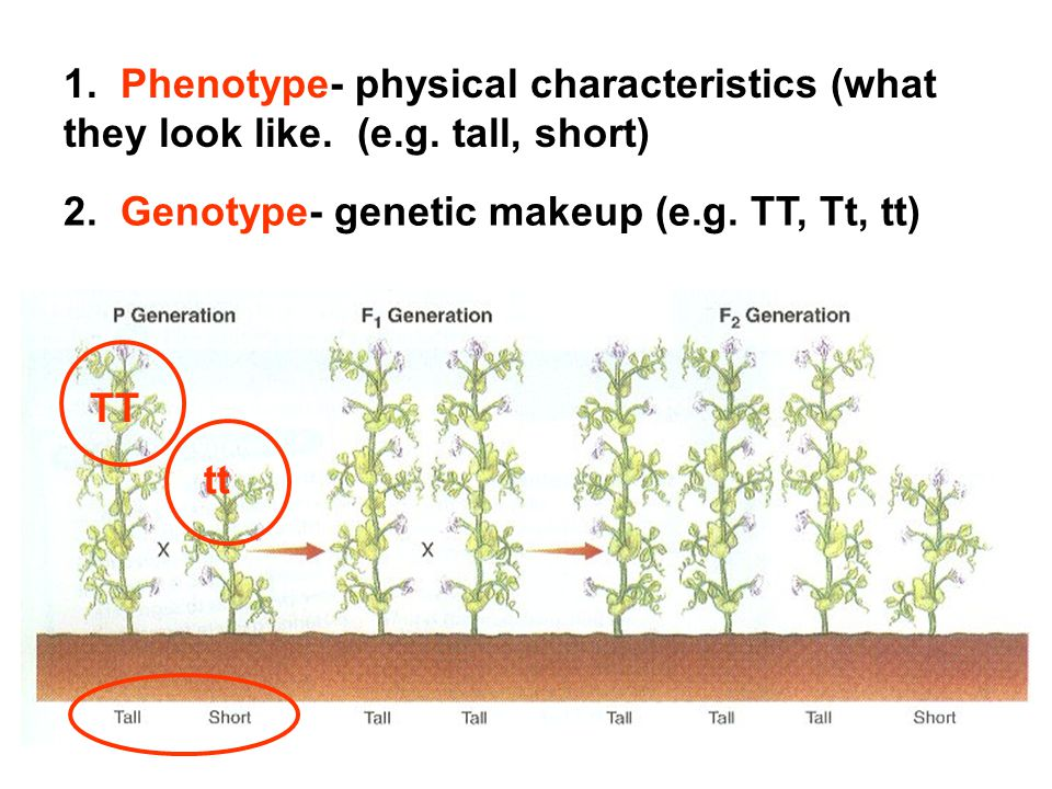 1. Phenotype- physical characteristics (what they look like. (e. g