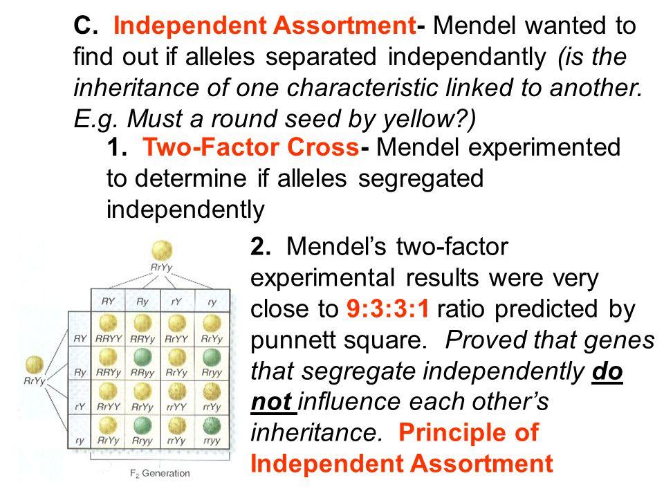 C. Independent Assortment- Mendel wanted to find out if alleles separated independantly (is the inheritance of one characteristic linked to another. E.g. Must a round seed by yellow )