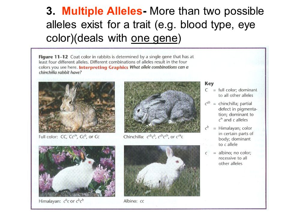 3. Multiple Alleles- More than two possible alleles exist for a trait (e.g.