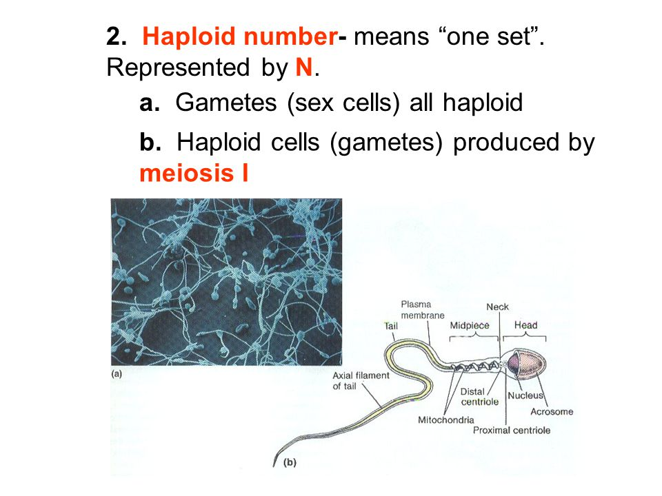 2. Haploid number- means one set . Represented by N.