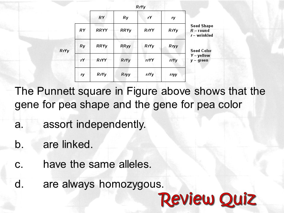 The Punnett square in Figure above shows that the gene for pea shape and the gene for pea color