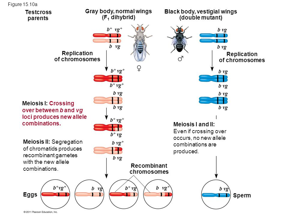Gray body, normal wings (F1 dihybrid)