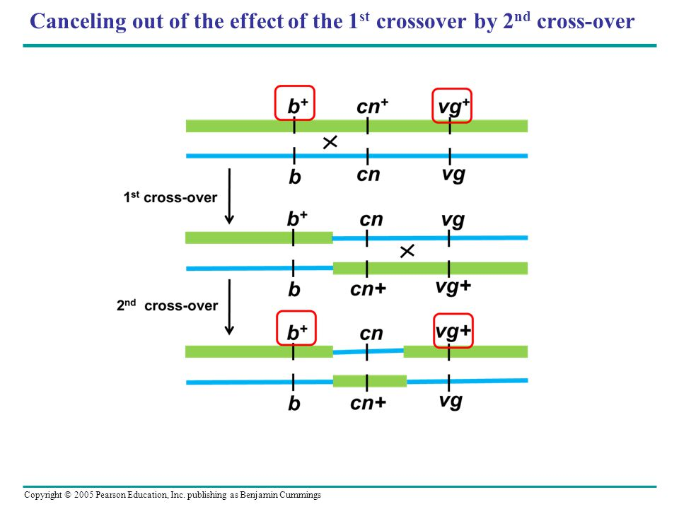 Canceling out of the effect of the 1st crossover by 2nd cross-over