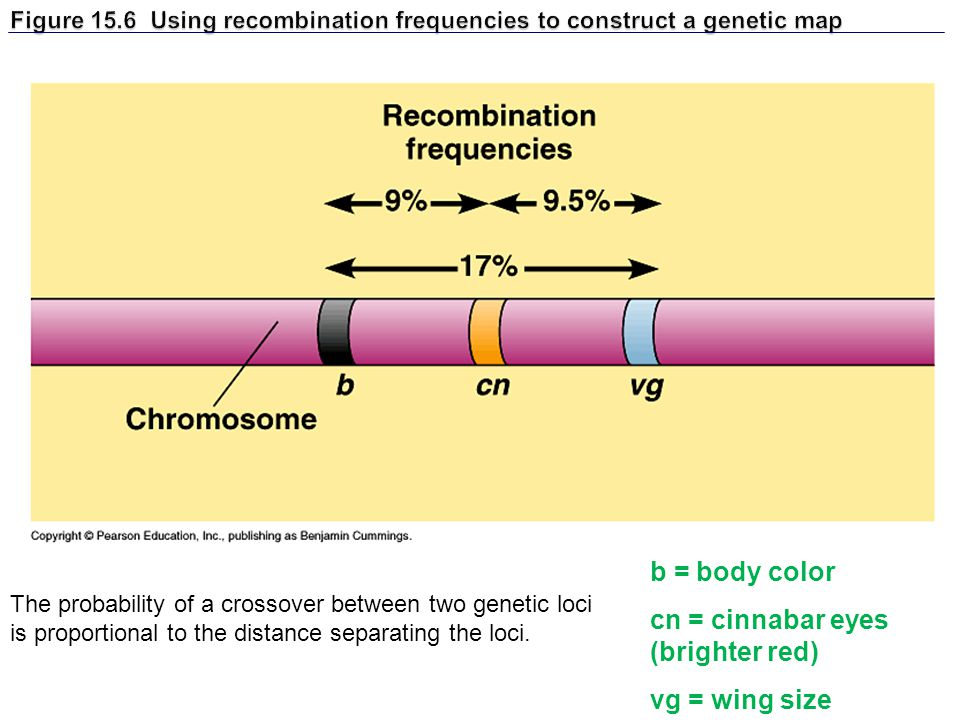 Figure 15.6 Using recombination frequencies to construct a genetic map