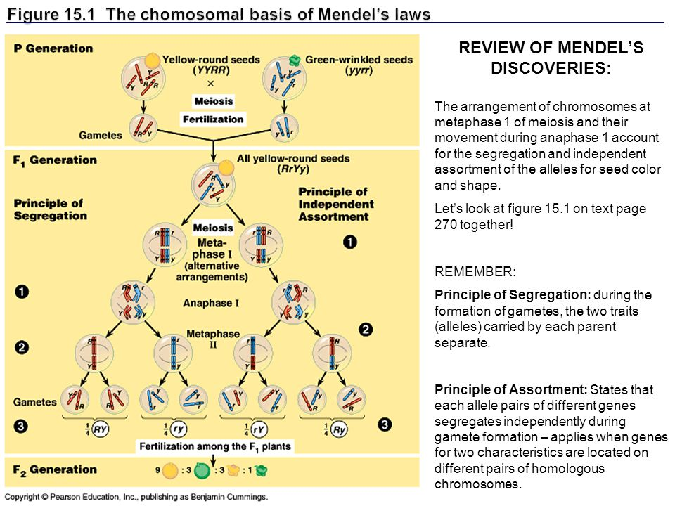 Figure 15.1 The chomosomal basis of Mendel's laws