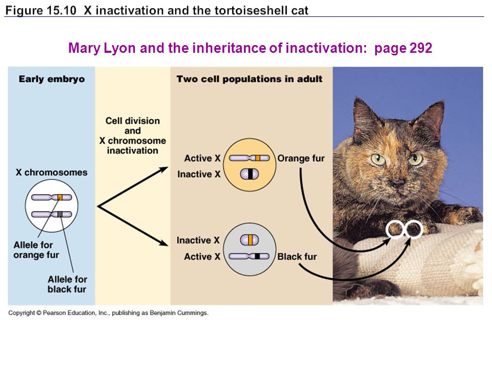 Figure 15.10 X inactivation and the tortoiseshell cat