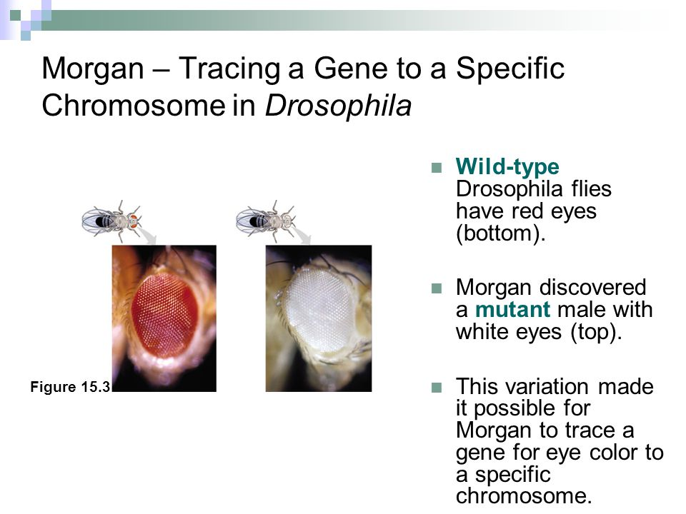 Morgan – Tracing a Gene to a Specific Chromosome in Drosophila