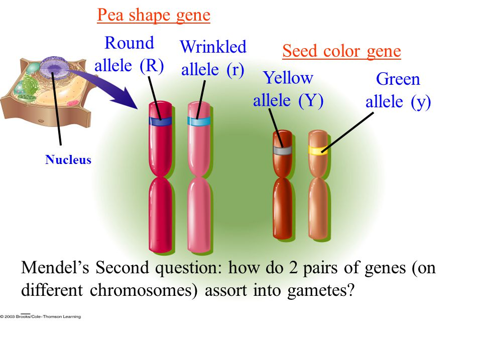 Pea shape gene Round allele (R) Wrinkled allele (r) Seed color gene