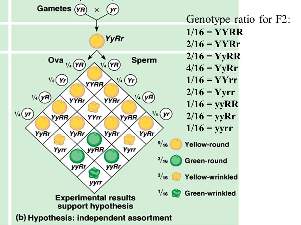 Genotype ratio for F2: 1/16 = YYRR 2/16 = YYRr 2/16 = YyRR 4/16 = YyRr