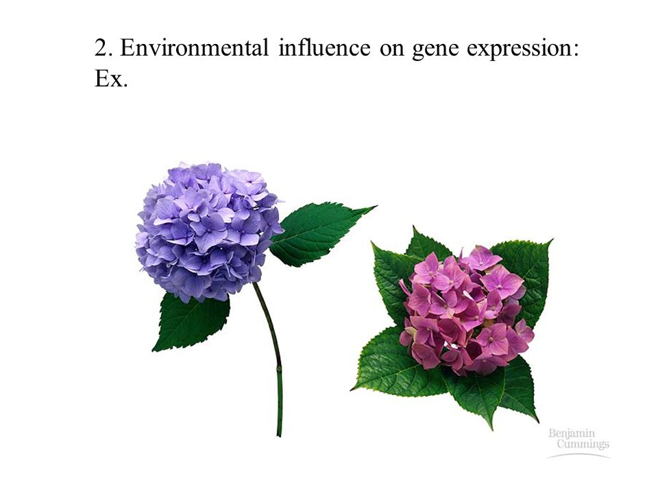 2. Environmental influence on gene expression: Ex.