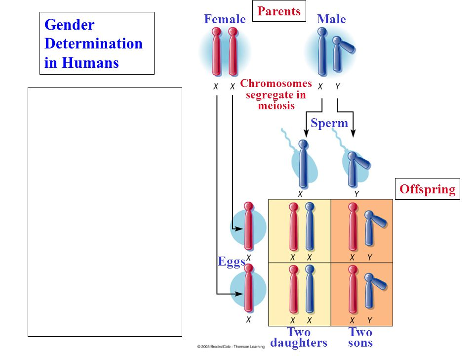 Gender Determination in Humans