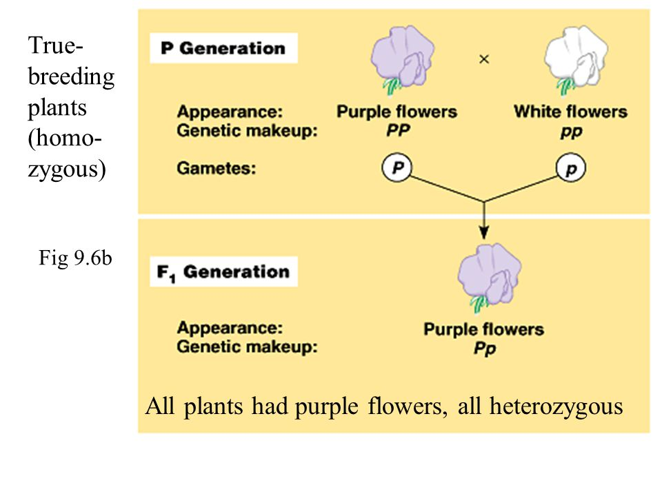 True-breeding plants (homo-zygous)