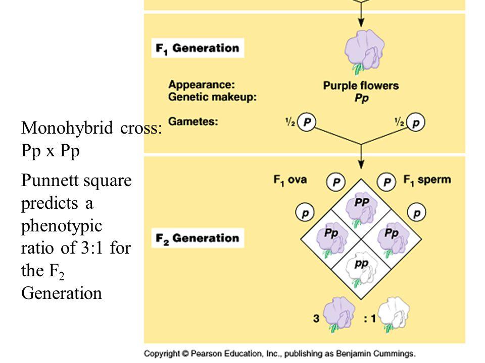 Monohybrid cross: Pp x Pp