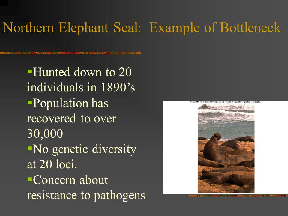 Northern Elephant Seal: Example of Bottleneck