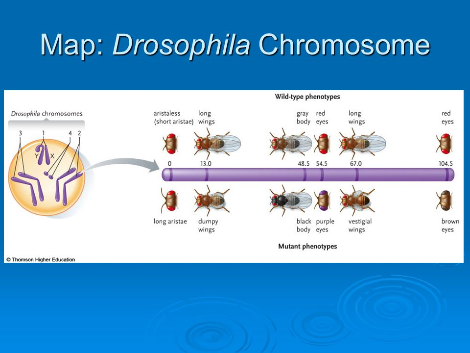 Map: Drosophila Chromosome