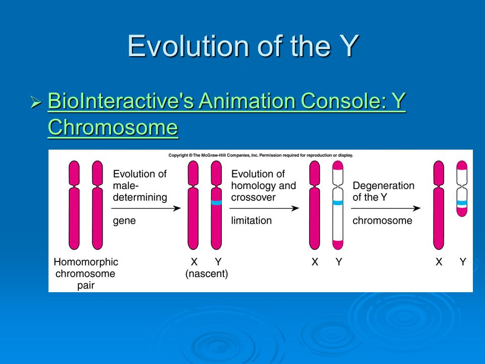 Evolution of the Y BioInteractive s Animation Console: Y Chromosome