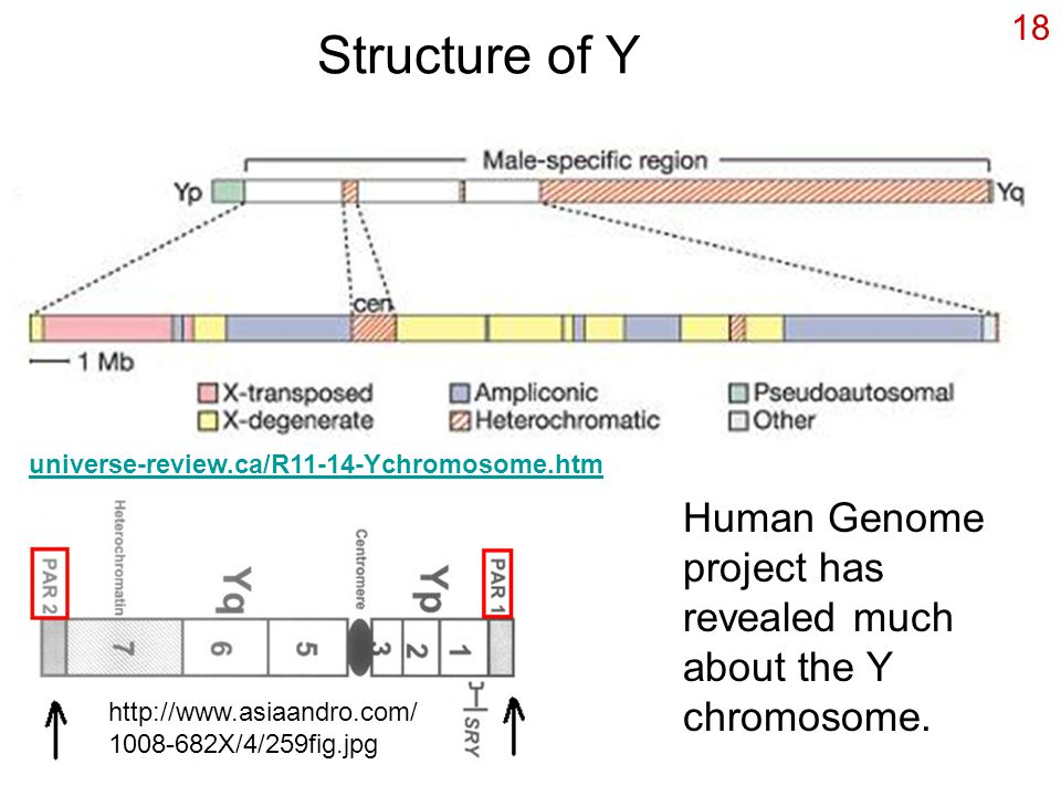 Structure of Y universe-review.ca/R11-14-Ychromosome.htm. Human Genome project has revealed much about the Y chromosome.