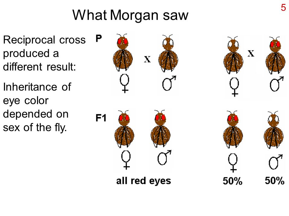 What Morgan saw Reciprocal cross produced a different result: